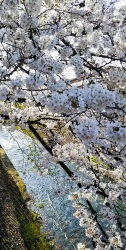 2019年4月5日桜日和10