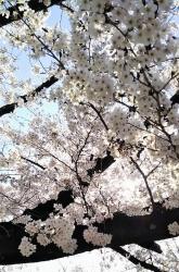 2019年4月5日桜日和11