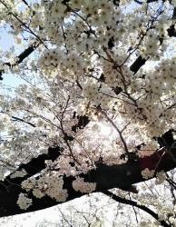 2019年4月5日桜日和12
