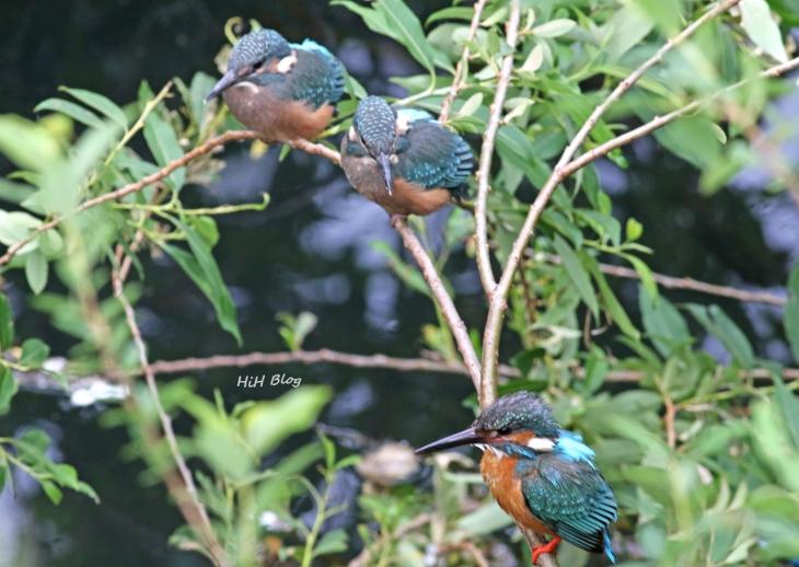 カワセミの幼鳥 5