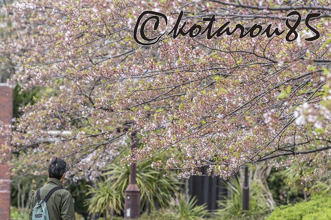 名残り桜2 20190415