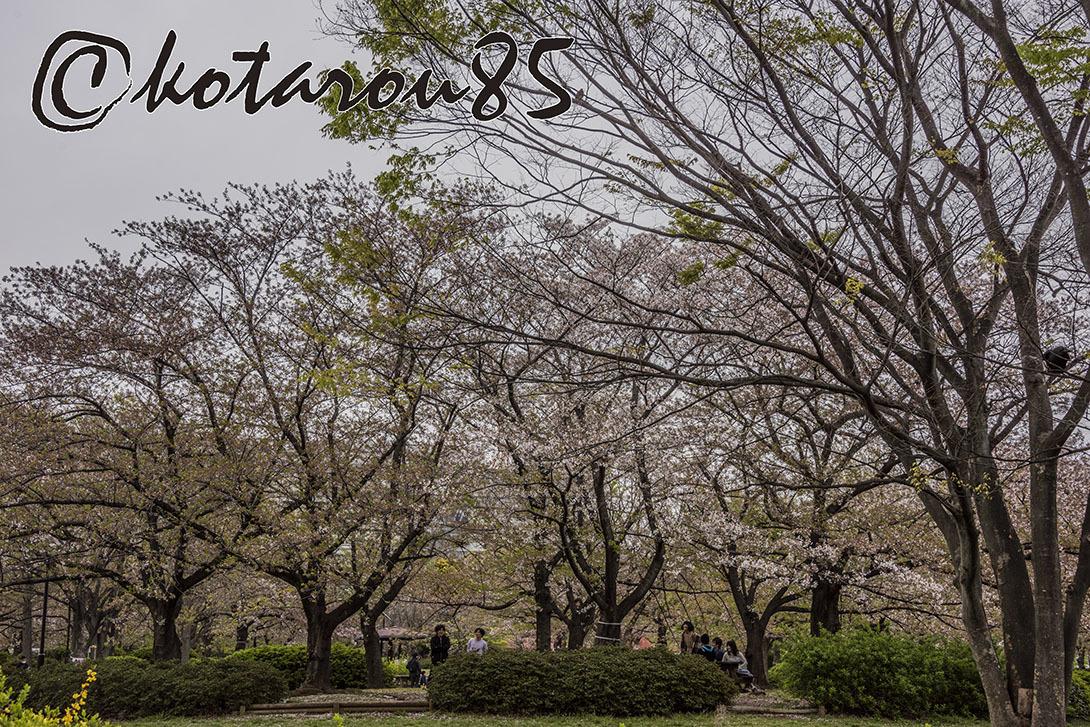 名残り桜6 20190415