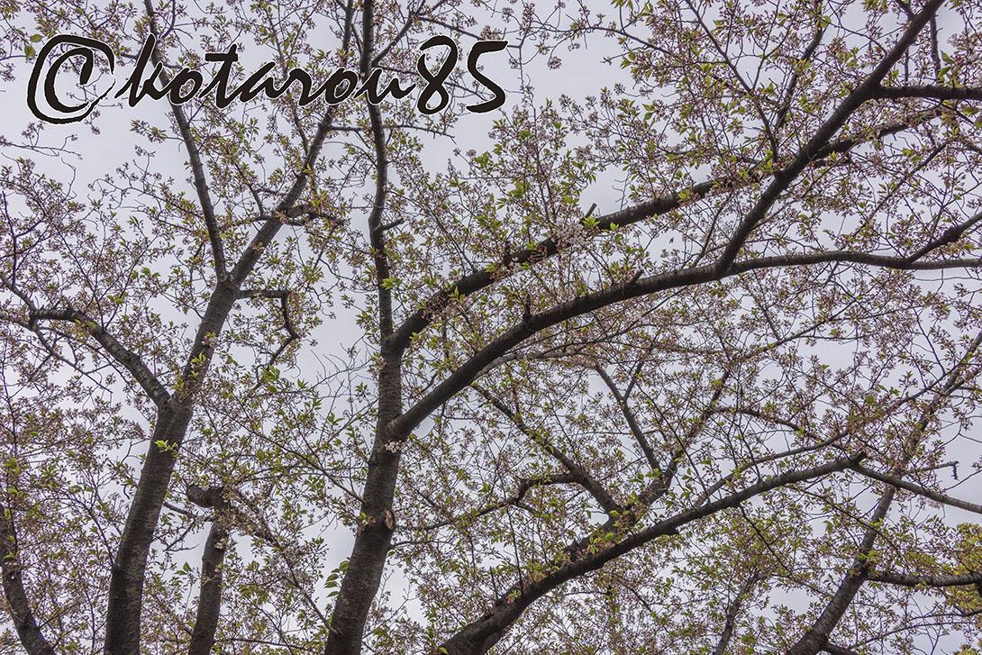 名残り桜7 20190415
