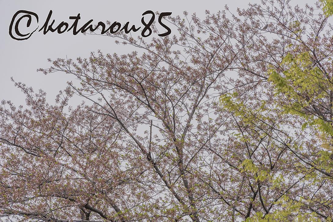 名残り桜9 20190415