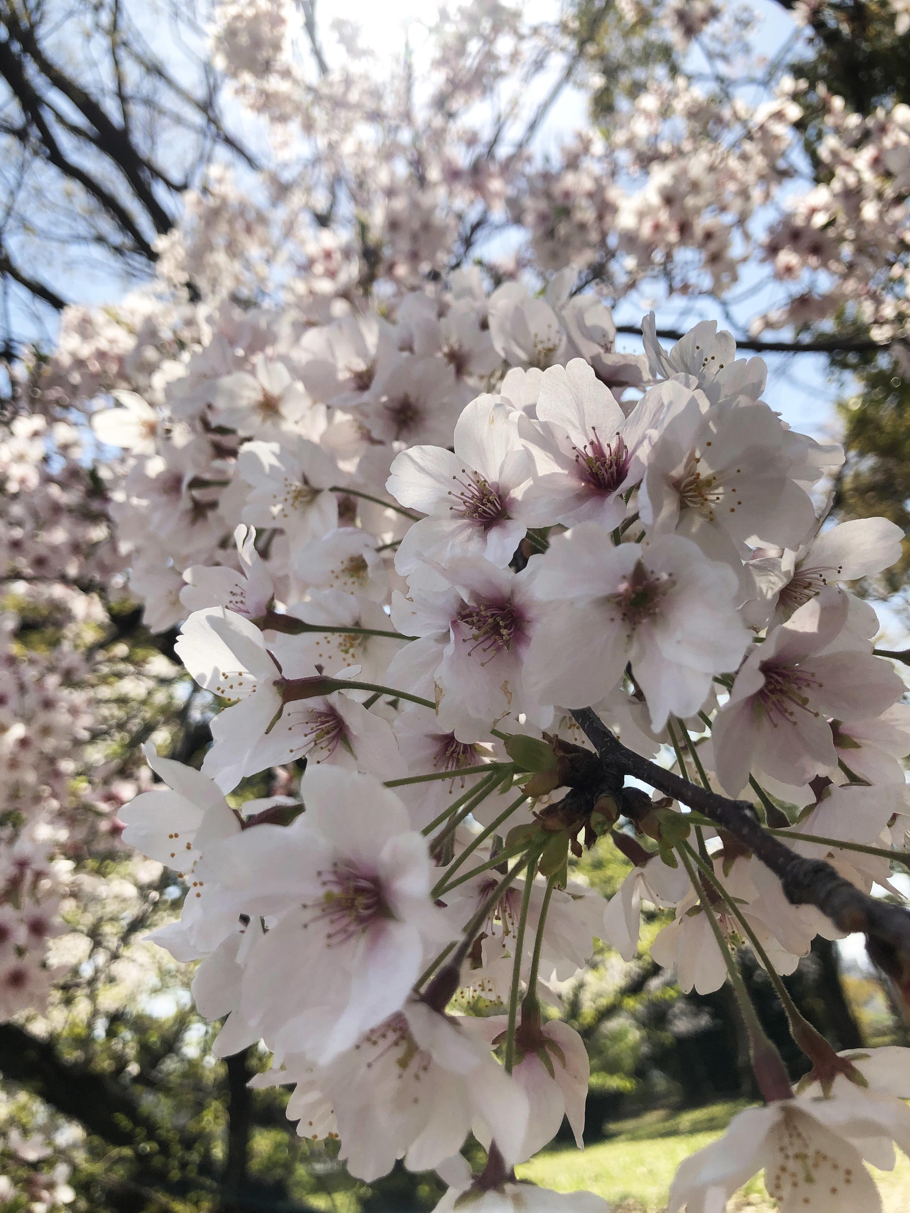 1904名城桜01