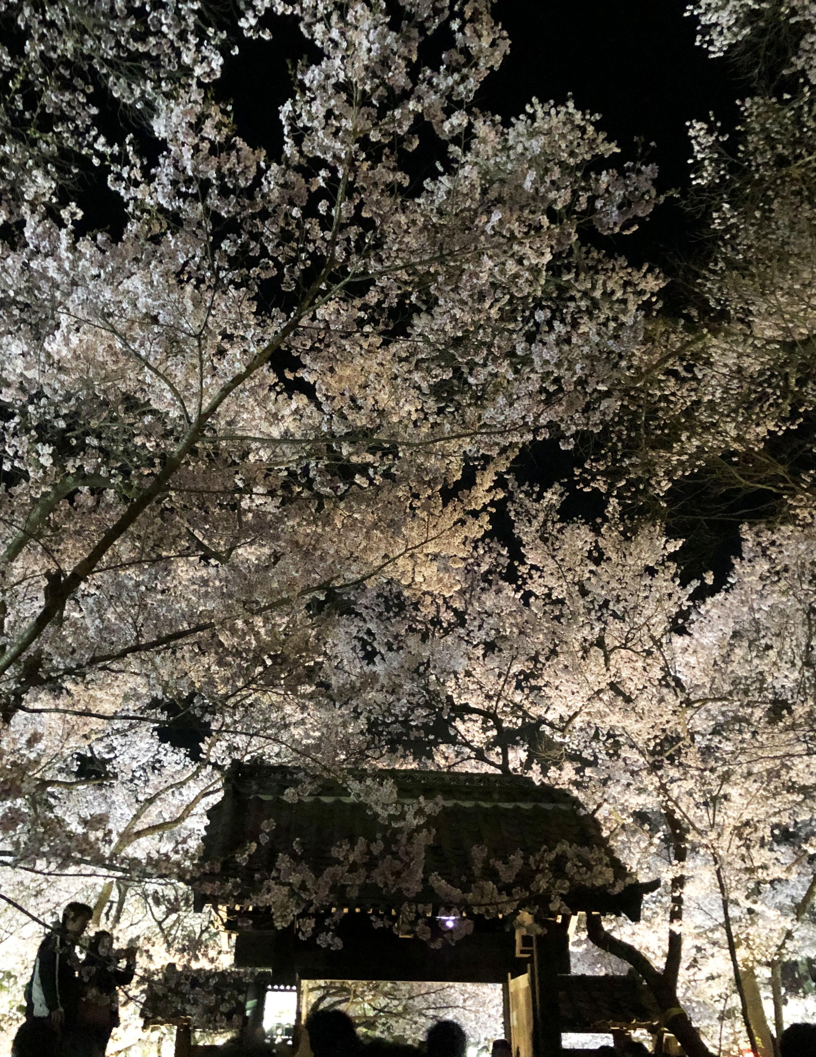 1904高遠桜06