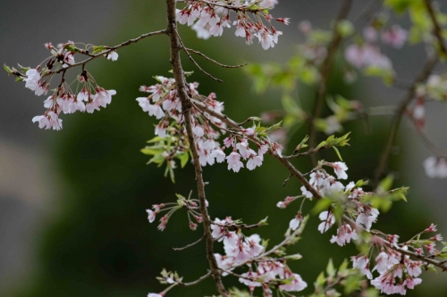 桜m995A7284