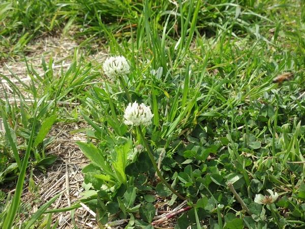 190422up01シロツメクサ咲いて緑が増えた