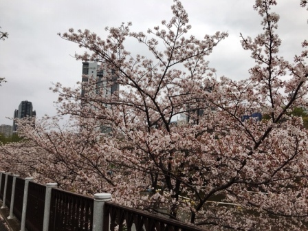 19sakuraichigaya_6286.jpg