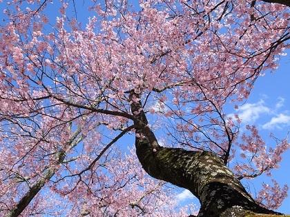 ピンクの濃い桜