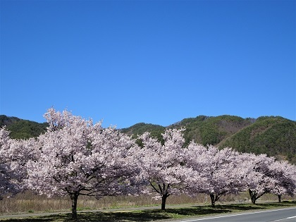 道路沿いの桜並木