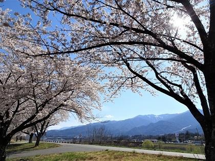 市役所の桜
