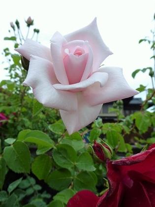 ピンクちゃん咲きました!