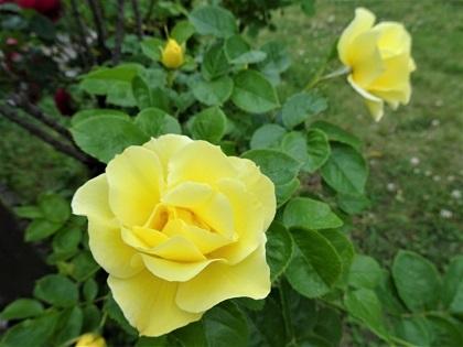 黄色のバラも