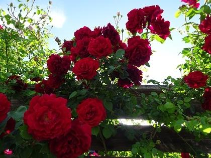 赤いバラが美しすぎて