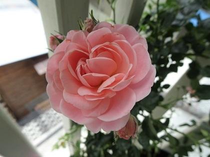 春ちゃんのバラ咲き始めました!