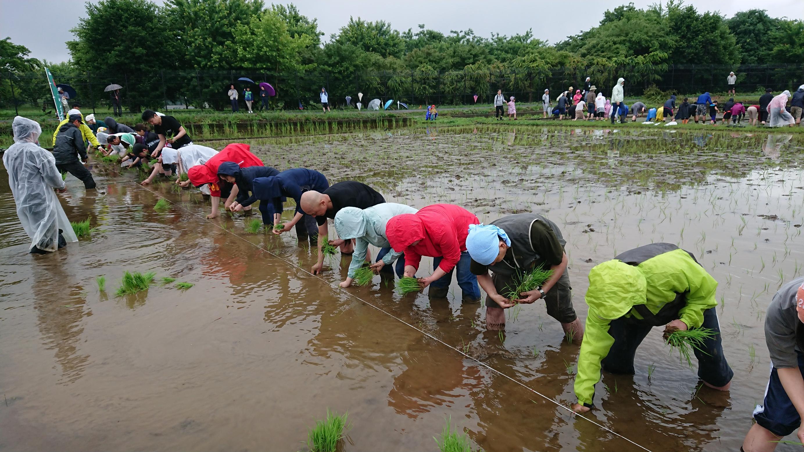 雨の中の田植え
