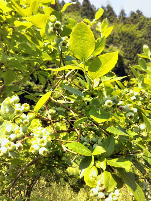 190606緑のブルーベリー