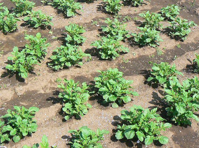 市民農園のジャガイモ