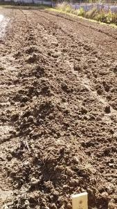 190415里芋植えた畝