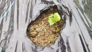 190425始めから穴キタアカリ芽が出た