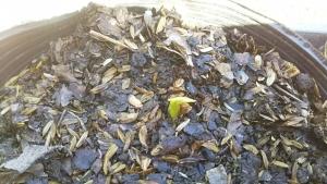 190516里芋土垂の芽1
