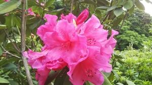 190518シャクナゲ咲く