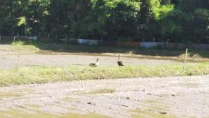 190524鴨が来た2