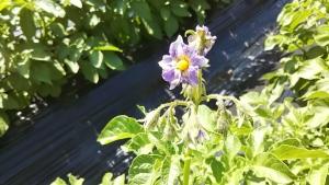 190525メークイーンの花