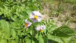 190526キタアカリの花咲く