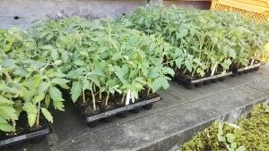 190529トマトの苗