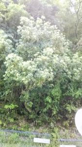 190619ヤマモモの木