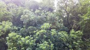 190619大きくなったヤマモモの木