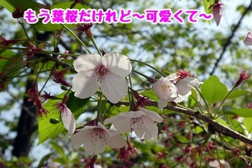 葉桜だけれど