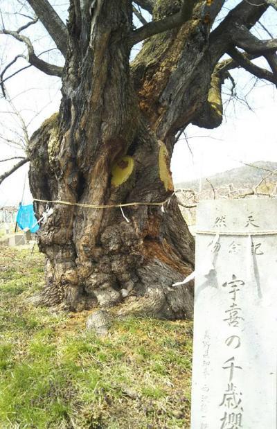 2019.4.8千歳桜の幹