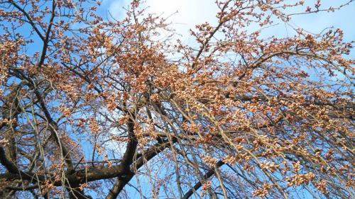 2019.4.12大日庵のしだれ桜(樹齢約300年)