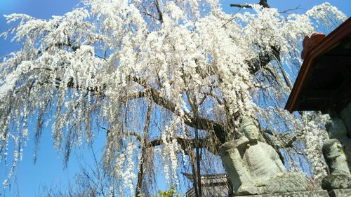 2019.4.22隆谷寺のしだれ桜