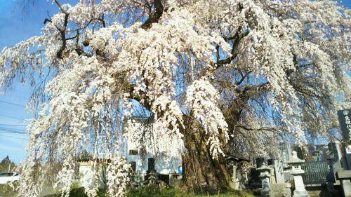 2019.4.22区民会館前のしだれ桜2
