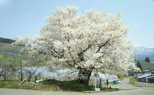 2019.4.22千歳桜