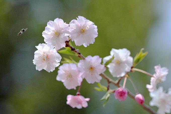 桜_8137