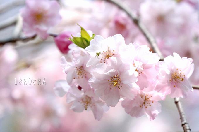 枝垂れ桜6_