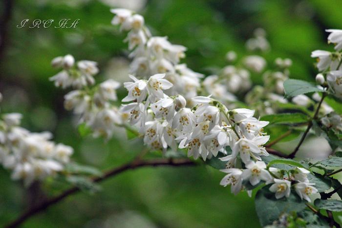卯の花0051