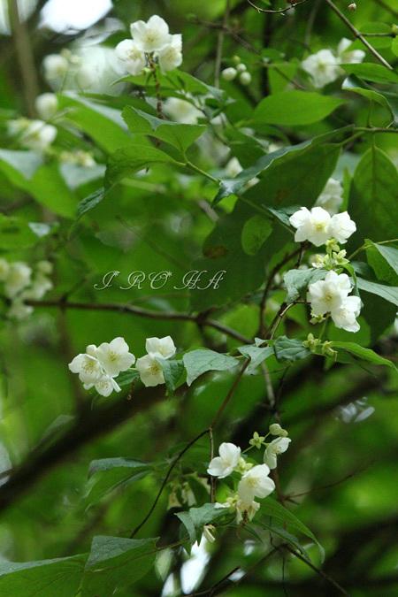 梅花空木1