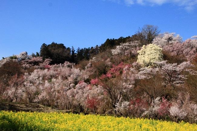 花見山 040 (1)