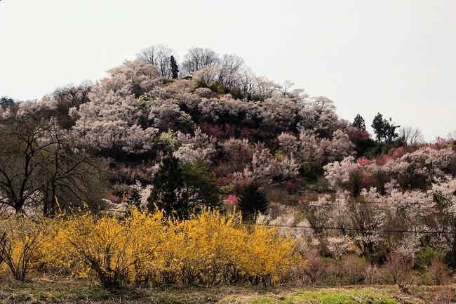 花見山 256