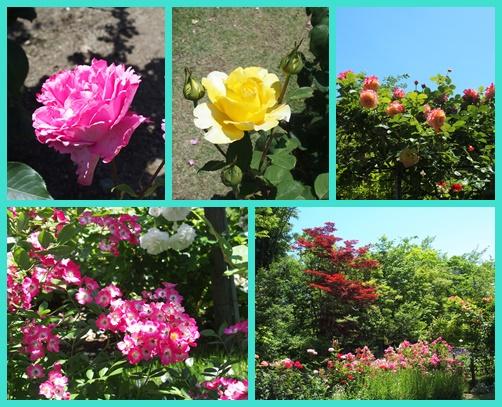 緑水苑のバラ