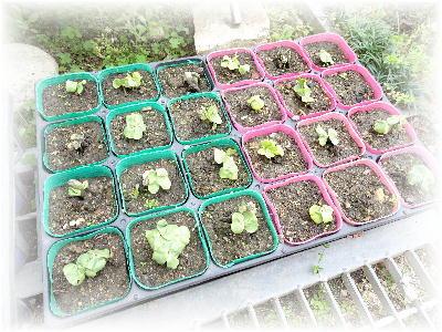 綿の芽3-1