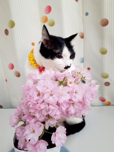 お蔵入りくぅ桜