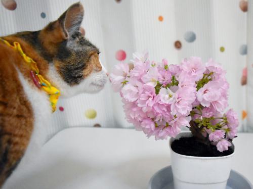 お蔵入りみく桜