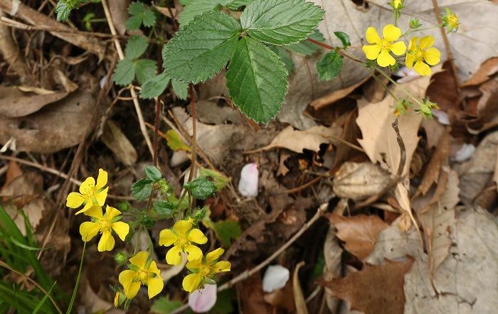 雉筵 花と葉と 爺神山遍路道沿い 31 4 8